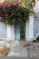 puducherry open door (kexi) Tags: puducherry pondicherry india asia vertical gate dog open 4 flowers bougainvillea pink quiet calm canon february 2017 motorbike instantfave