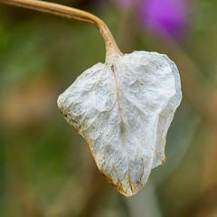 1905 Fading Foldwing (c.miles) Tags: babaddoagtrail coronadonationalforest foldwing santacatalinamountains