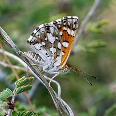 1905 Checkerspot (c.miles) Tags: babaddoagtrail butterfly checkerspot coronadonationalforest santacatalinamountains