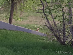 May 25, 2019 - Fox kits in suburbia. (LE Worley)