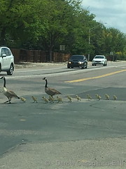 May 27, 2019 - Goose crossing in Eastlake. (Darcie Castigliano-Ball)