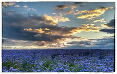 Phacelia (Pwebb13866) Tags: countryside field fields sunset cambridgeshire cambridgeshirescene phacelia agriculture cambs elsworth southcambs cloudscape clouds
