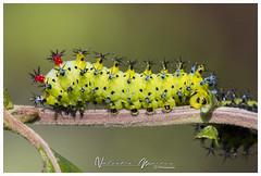 Hylaphora cecropia (valenmui) Tags: the robin moth hylaphora cecropia