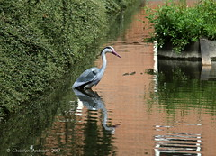 ... He certainly fooled me :-)) ... (ChristianofDenmark) Tags: christianofdenmark copenhagen denmark spring fake heron