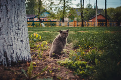 The cat sits next to a tree (ivan_volchek) Tags: cat animal pet cute kitten feline domestic eyes fur grey british portrait gray kitty pets eye grass fluffy grayblue mammal shorthair scottish green garden beautiful surprised happy funny curious cartesiancat chartreux french playful outdoor adorable attractive beauty breed cheerful frolicsome