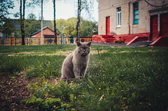 Sad french cat (ivan_volchek) Tags: cat animal pet cute kitten feline domestic eyes fur grey british portrait gray kitty pets eye grass fluffy grayblue mammal shorthair scottish green garden beautiful surprised happy funny curious cartesiancat chartreux french playful outdoor adorable attractive beauty breed cheerful frolicsome