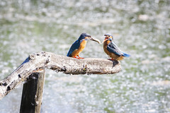 Breakfast Time. (Tris1972 (tmorphewimages.co.uk)) Tags: kingfisher femalekingfisher malekingfisher bird fish nature beautiful lakes lackfordlakes suffolkwildlifetrust colourful water wildlife flying suffolk uk feeding