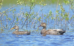 Couple de Canards Chipeau / Gadwalls (alainmaire71) Tags: oiseau bird anatidae anatidés marecastrepera anasstrepera gadwall nature quebec canada oiseaudeau waterfowl