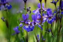 Iris (tonybill) Tags: flowers gardens hampshire may miscellaneous nationaltrust olympusomzuiko90mmf2macro places sonya7iii sunshine westgreenhouse bokeh garden