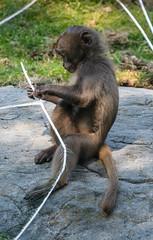 Gelada Baboon (PMillera4) Tags: geladababoon baboon primate bronxzoo