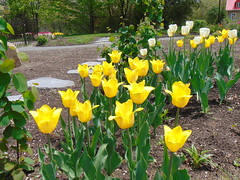 Tulip time in Rosemère (yellow and white) (Quevillon) Tags: canada québec laurentides rosemère lesjardinshamilton garden flower tulip yellow white