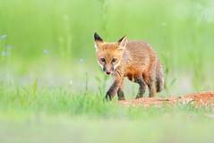 Young Prowler... Happy Memorial Day!!! (DTT67) Tags: kit foxkit redfox fox 14xtciii 500mmii canon1dxmkii canon spring mammal animal nature wildlife