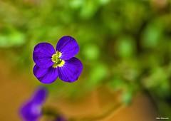 Purple flower (akatsoulis) Tags: marumi nikoneurope nikonuk nikon d5300 nikkor macrodreams closeup macro spring flowers bokeh outdoors dof depthoffield flowerpot garden flora purple colours