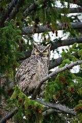 Great Horned 2 (Wisconsin Fox) Tags: yellowstone yellowsstonenationalpark owl greathornedowl ynp nature wildlife birds nikon d850 lightroom photoshop