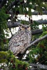 Great Horned (Wisconsin Fox) Tags: yellowstone yellowsstonenationalpark owl greathornedowl ynp nature wildlife birds nikon d850 lightroom photoshop