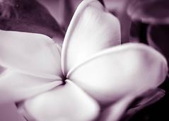 Have a Magenta Day (risaclics) Tags: make me smile 60mmmacro april2019 frangipani nikond610d bloom blossom flora flower magenta monochrome petals makemesmile