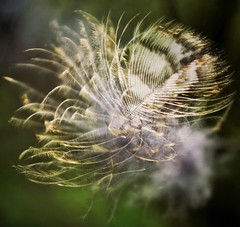 like feather in the wind (Gigliola Spaziano) Tags: feather wind outside nature movement explore