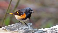 Paruline flamboyante mâle (Marie-Josée Lévesque) Tags: oiseau bird passereau migration nature warbler paruline printemps spring springtime québec canada