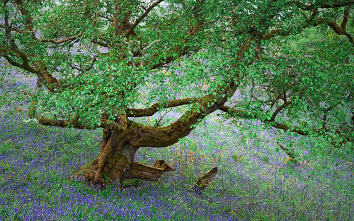 Tree amongst Bluebells