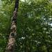 Tree with Vine Climbing