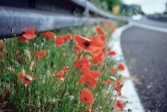 Vita al lato della strada (michele.palombi) Tags: papaveri strada vita rosso analogic 35mm shot colore c41 negativo