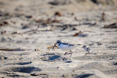 Father and Child, A Day At The Beach. (halladaybill) Tags: snowyplover father chick orangecounty california seaandsageaudubonsociety auduboncalifornia cornelllabofornithology nikond850 nikkor500pf