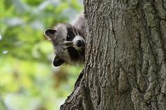 Raccoon (kevinwg) Tags: raccoon tree leaves woods