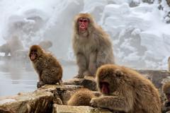 Snow Monkeys of Yudanaka (chasingthelight10) Tags: photography events travel places japan yudanaka things snowmacaques snowmonkeys otherkeywords hotsprings