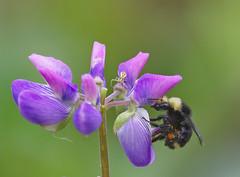 Spider and bee (piranhabros) Tags: flower spider bee macro pollen purple