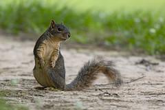 Fox Squirrel (Stephen J Pollard (Loud Music Lover of Nature)) Tags: sciurusniger foxsquirrel mammal mamífero ardilla ardillazorra squirrel
