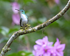 andean emerald (hawk person) Tags: amaziliafranciae hummingbird