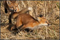 Ambush 6748 (maguire33@verizon.net) Tags: canid fox kit redfox wildlife