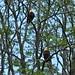 A Couple of Bald Eagles (1)