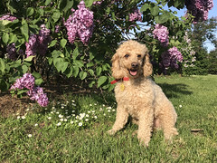 (Jean Arf) Tags: dusty poodle dog miniaturepoodle apricot highlandpark rochester spring 2019 lilac bloom flower bush