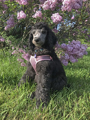 (Jean Arf) Tags: mersey poodle dog standardpoodle puppy baby highlandpark rochester spring 2019 lilac bloom flower bush