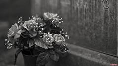 The Departed (MBates Foto) Tags: availablelight blackandwhite bokeh cemetery daylight existinglight flowers grave memorial memorialday monochrome nikkorlens nikon nikonais nikond810 nikonfx outdoors spokane washington