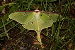 Luna Moth - Actias luna - Adams County, Ohio, USA - May 18, 2019 (mango verde) Tags: lunamoth actiasluna saturniidae actias luna moth adamscounty ohio usa mangoverde