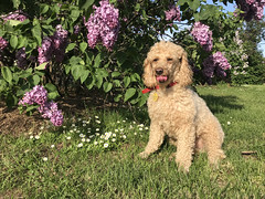 (Jean Arf) Tags: dusty poodle dog miniaturepoodle apricot highlandpark rochester spring 2019 lilac bloom flower bush tongue