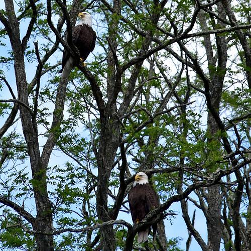 A Couple of Bald Eagles (2)