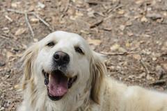 Luna - a golden retriever, eight years old (pacgrove) Tags: dog goldenretriever