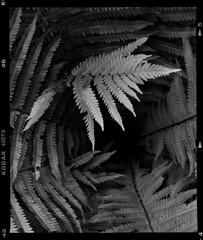 Spring fern (Bill Bresler) Tags: fern spring backyard 400tx filmisnotdead fullframe mamiyarb67pros 6x7 a3c3
