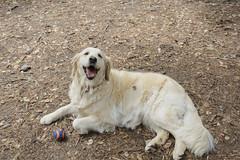 Luna - a golden retriever, eight years old (pacgrove) Tags: dog goldenretriever ball