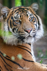 Rakan (ToddLahman) Tags: rakan sandiegozoosafaripark safaripark sumatrantiger tiger tigers tigertrail exhibitb beautiful portrait photooftheday profileheadshot photography photographer mammal male nikond500 nikonphotography nikon