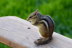 Eastern Chipmunk (Linda Ramsey) Tags: may spring ontario backyard nature animal easternchipmunk chipmunk