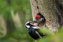 Great spotted woodpecker feeding chick (sean4646) Tags: red greatspottedwoodpecker young chicks feeding daisynook tameside nikon d500 tamron spring grubs forrest gsw woodpecker