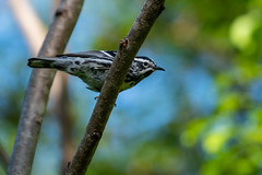 Black-and-white Warbler, Mniotilta varia (Linnaeus, 1766) (Misenus1) Tags: pepperellma massachusetts healdstreetorchard animalia chordata aves birds passeriformes parulidae warblers mniotiltavaria taxonomy:kingdom=animalia taxonomy:phylum=chordata taxonomy:class=aves taxonomy:order=passeriformes taxonomy:family=parulidae taxonomy:binomial=mniotiltavaria