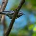 Black-and-white Warbler, Mniotilta varia (Linnaeus, 1766)