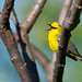Blue-winged Warbler, Vermivora cyanoptera Olson & Reveal, 2009
