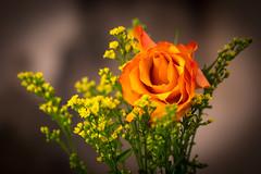 Orange Rose (3220) Macro lenses aren't just for close ups! (jim fleckenstein) Tags: rose orange flower single dof narrowdepthoffield 100mm macro canon 70d eos tabletop tripod bokeh soft fleur fiore blomma blomst róża mójpięknykwiatek minvackrablomma schöneblume blume ローズ rōzu