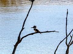 Belted Kingfisher (dndj2014) Tags: bird beltedkingfisher kingfisher canon canonef70300 unlimitedphotos outdoors coloradobirds colorado coloradowildlife wildlife